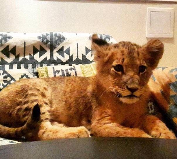Львица, которая живет в кальянной